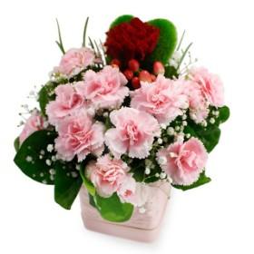 Amaranth Carnation