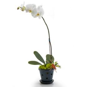 Opulent Orchids - Single