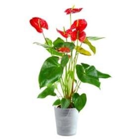 Reddish Anthurium
